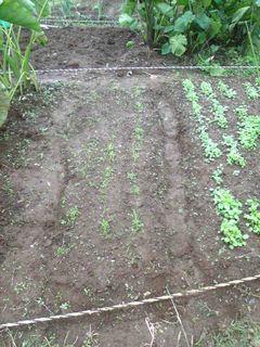 先週植えたにんじんが芽を出した
