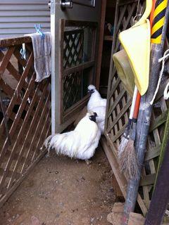 初めて見る烏黒鶏たち