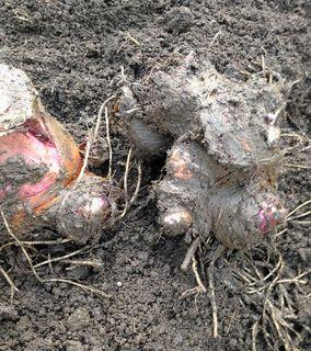里芋の収穫、ちょっと少ないかも
