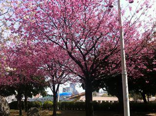 日本丸メモリアルパーク近くの寒桜