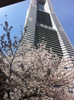 ランドマークタワー近くの満開の桜