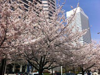 ランドマークタワーとクイーンズイーストの前の桜