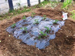 茄子の苗を植えました