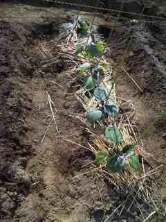 茄子の苗を2つ追加して列が埋まった