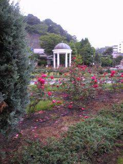 赤いバラはまだ見事に咲き誇っていました
