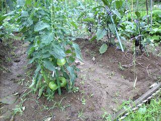 トマトと茄子、実が成ってくると嬉しい♪