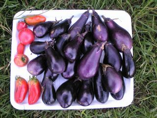今日の収穫は茄子がいっぱい。トマトはもう終わりかな。