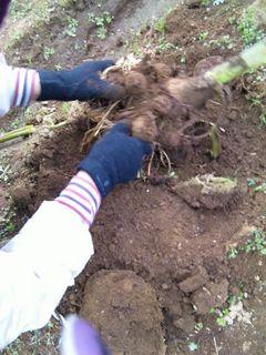 根っこに付いた土を落とすと里芋が現れます