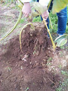 里芋の茎を持って引抜くと里芋がびっしり