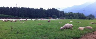 牧草を食むヒツジたち