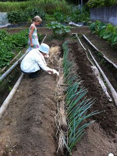 全部植えたら根っこの部分に藁を敷き詰めます