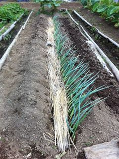 藁も全部敷き詰めてとりあえずネギ植え完了